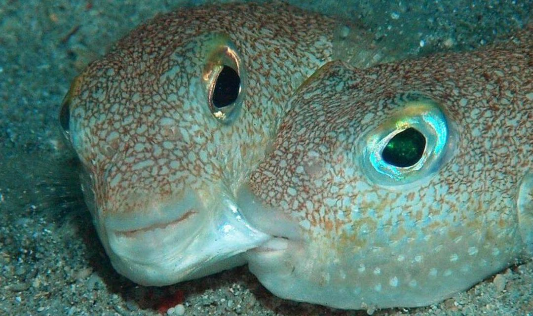 Research on pufferfish
